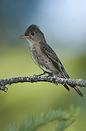 Olive-sided Flycatcher - Contopus cooperi