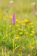 Fragrant Orchid, Gymnadenia conopsea, growing in a meadow in Middleton Dale, Peak District