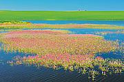 Pink flowers of water smartweed in pond alongside crop<br /> Orkney<br /> Saskatchewan<br /> Canada
