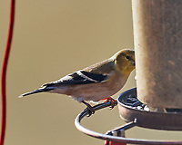 American Goldfinch (Spinus tristis). Image taken with a Nikon D5 camera and 600 mm f/4 VR lens.