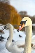 © Licensed to London News Pictures. 21/01/2013. Westminster, UK Swans stand in the Snow at the Royal Park, St James Park, in Central London today 21 January 2013. Photo credit : Stephen Simpson/LNP