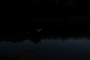 Bird flying after dark along the tidal Goyen River on 24th September 2021 in Pont Croix, Brittany, France. Brittany is a peninsula, historical county, and cultural area in the west of France, covering the western part of what was known as Armorica during the period of Roman occupation. It became an independent kingdom and then a duchy before being united with the Kingdom of France in 1532 as a province governed as a separate nation under the crown.