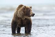 Alaskan brown bear Alaskan brown bear in Lake Clark National Park