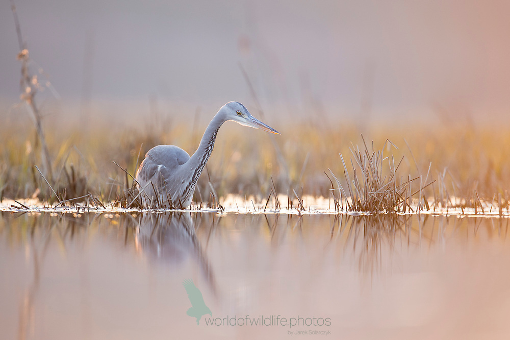 Hunting grey heron