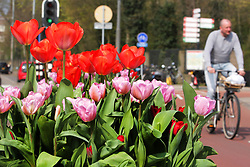 March 30, 2019 - Amsterdam, Netherlands - A man ride bicycle pass by tulips are displayed on the street in front of the Vondelpark during the 5th edition of the Tulip Festival on March 30, 2019 in Amsterdam,Netherlands. The 5th edition of the Tulip Festival hundreds of thousands of tulip pots flowers have been planted in the  Amsterdam city, every until April. (Credit Image: © Paulo Amorim/NurPhoto via ZUMA Press)