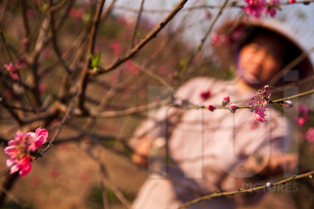 Orchard of peach trees in blossom close to the red river in Hanoi Vietnam. Workers pruning trees just before tet festivities.