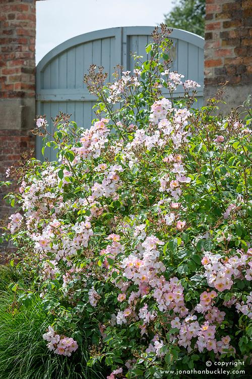 Rosa 'Rosy Cushion' syn. 'Interall'