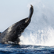 Southern hemisphere humpback whale (Megaptera novaeangliae australis) throwing up a wall of water while executing a massive tail slap.