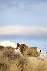 Trophy Bighorn Sheep Ram, Shoshone River Valley, Cody, Wyoming