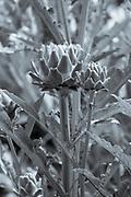 FINE ART PHOTOGRAPHY by Tim Graham<br /> FOOD - Artichoke in Vegetable Garden