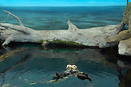 PRT, Portugal: Oceanario de Lisboa, das zweitgroesste seiner Art weltweit,  Lebensraum Pazifischer Ozean, zwei Seeotter (Enhydra lutris lutris) treiben im Wasser, die Realität geht nur bis zum Baumstamm, das Meer dahinter ist Fake, eine Wandtapete, Lissabon, Lissabon | PRT, Portugal: Oceanario de Lisboa, the second largest world wide, habitat Pacific Ocean, two Sea Otters (Enhydra lutris lutris) driving in water, reality ends at trunk, the ocean behind is a fake, a wallpaper, Lisbon, Lisbon |