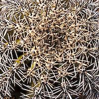 Saguaro National Park, Tucson, Barrel cactus detail