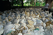 bags of eggs of olive ridley sea turtles ( 200 eggs per bag )<br /> fill the warehouse at Ostional cooperative or ADIO during arribada; egg harvest is legal and controlled<br /> Playa Ostional, Costa Rica ( Pacific )
