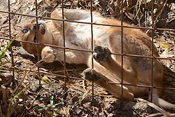 Caracal, Big Cat Rescue