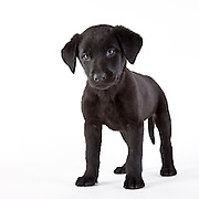 Black labrador retrevier puppy standing on a white seamless background.
