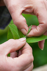 Taking heel cuttings from honeysuckle. Lonicera 'Graham Stuart Thomas'. Pinching out tips
