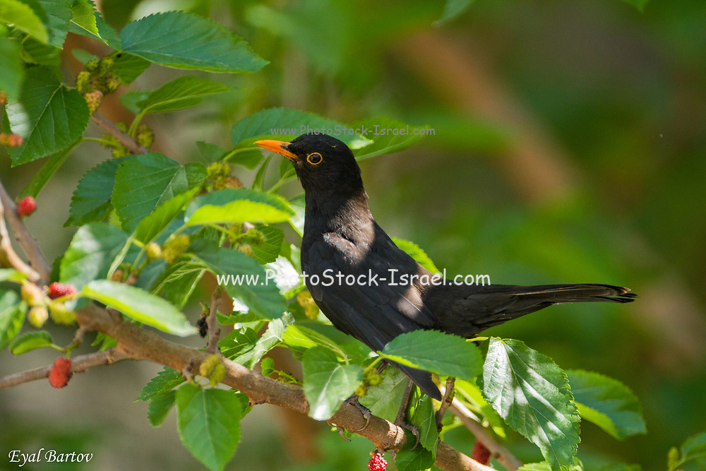 Common Blackbird or Eurasian Blackbird (Turdus merula) This bird is found throughout Europe and the near east and feeds on a variety of foods, including fruits, berries, insects and worms. Photographed, Israel in April