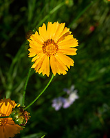 Lance-leaf Coreopsis. Image taken with a Nikon D810A camera and 105 mm f/2.8 macro  VR lens