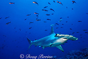 scalloped hammerhead shark, Sphyrna lewini, Galapagos islands, Ecuador ( Eastern Pacific Ocean )