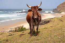 "South Africa - Coffee Bay - 12 September 2020 - Pictured is a cow grazing near Hole-in-the-Wall in the Eastern Cape. There is a traditional Xhosa proverb that states, ""Ubuhle bendoda ziinkomo zayo"", which loosely translates to ""A man is only as handsome as the size of his cattle herd."" Cattle have for a long time had a major role in South African rituals, like the cleansing ceremony in Xhosa culture. ""Lobola"", which means bride price, or dowry, is usually paid in live cows or money from the groom's family, and is still common today in southern African cultures. Picture: David Ritchie/African News Agency(ANA)"