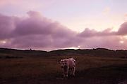 Un boeuf sous un soleil couchant  - un grand nombre de ranch d'élevage bovin se trouve sur la côte ouest de la Grande-Terre - Nouvelle Calédonie 2014