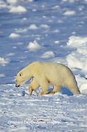 01874-07214 Polar Bear (Ursus maritimus) on the ice of Hudson Bay  Churchill MB