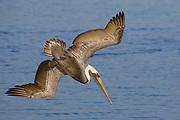 Brown Pelican in full breeding colors dives for fish.(Pelecanus occidentalis).Bolsa Chica State Park, California