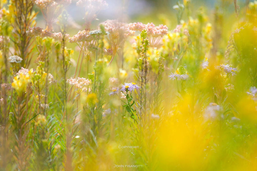 Wildflowers in Grand Teton National Park, Wyoming