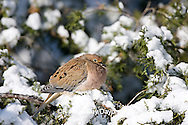 01081-011.09 Mourning Dove (Zenaida macroura) in Keteleeri Juniper (Juniperus keteleeri) in winter, Marion Co. IL