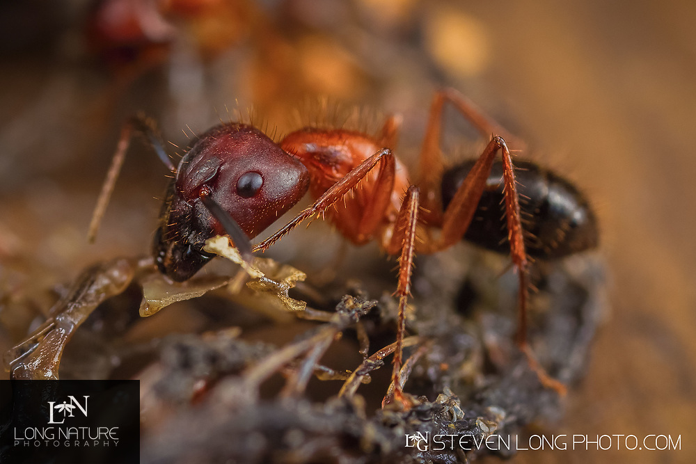 Camponotus floridanus - Florida carpenter ant feeding on an anole lizard.  Photographed in Lady Lake, Florida USA