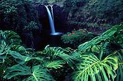 Monstera plant, Rainbow Falls, Hilo, Island of Hawaii, Hawaii, USA<br />