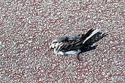 Road kill - a dead bird at Sao Jacinto Nature Reserve on the shore of Aveiro Lagoon, Portugal