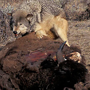 Gray Wolf, (Canis lupus) Feeding on bison carcass. Rocky mountains.  Captive Animal.