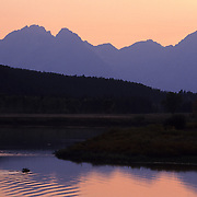 Moose (Alces alces) bull swimming in the Snake River at Oxbow Bend during the fall. Grand Teton National Park, Wyoming