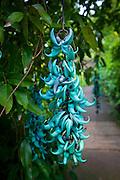 Blue Jade Vine, strongylodon leguminosae macrobotrys,  Enchanting Floral Gardens, Kula, Maui, Hawaii