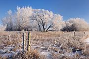 Hoarfrost on trees at sunrise , West of Regina, Saskatchewan, Canada