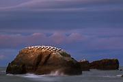 Sunset over breeding gannets (Morus serrator) on small cliff in sea, near Clifton, New Zealand Ⓒ Davis Ulands   davisulands.com