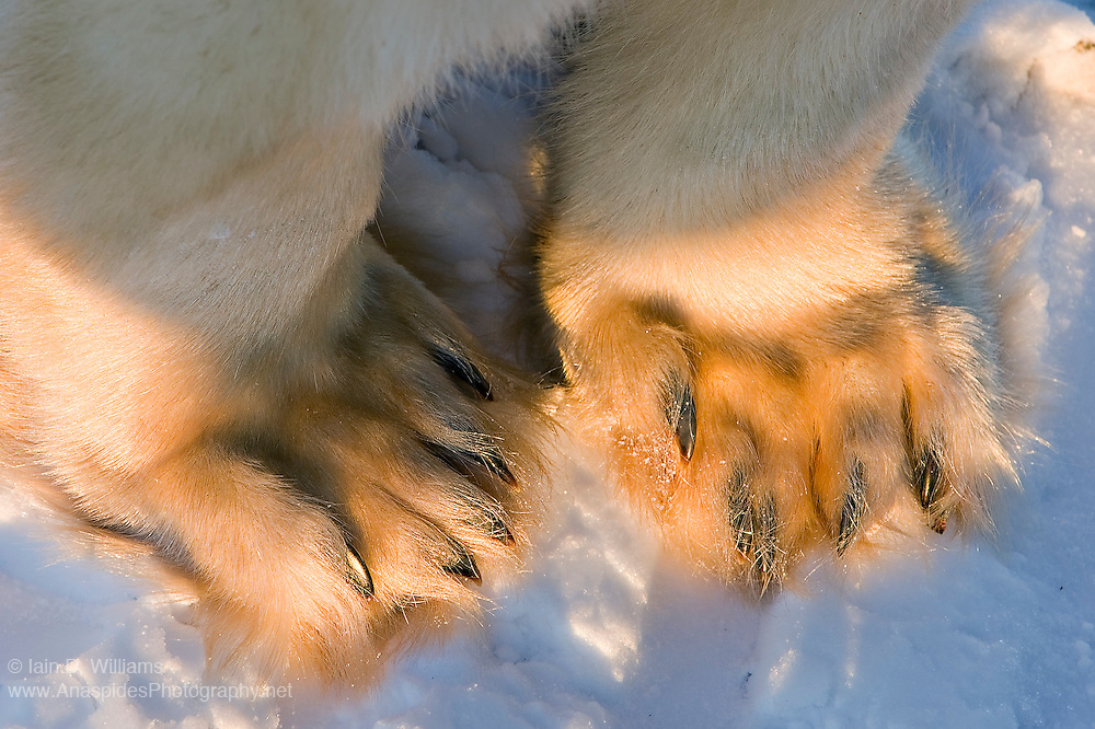 The paw and claws of an adult polar bear are impressive.  The paw can be the size of a large dinner plate while claws are often over an inch long.  The delicate guard hairs can be seen around the claws of this bear