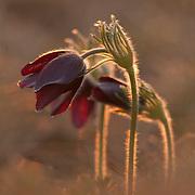 Pasque flowers, Pulsatilla vulgaris,  with in backlight, Mont du Cézallier, Auvergne, France