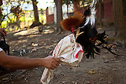 A rooster is trained for cock fighting in Puerto Rico. Cock fighting is still legal in the US Territory.