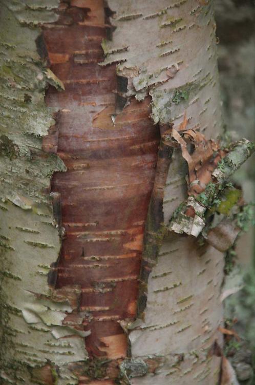 Birch Tree Detail, North Cascades National Park, Washington, US
