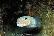 spotted porcupinefish or spot-fin porcupinefish, <br /> Diodon hystrix, inside mast of old shipwreck, <br /> Bahamas ( Western Atlantic Ocean )