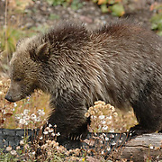 Grizzly Bear, (Ursus horribilis) A cub of the year near the road in Yellowstone National Park, it's mother near by, both of them foraging on plants.  Fall.