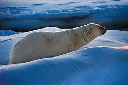 Big male Polar bear (Ursus maritimus) on drifting ice at 82 degree North in September, Svalbard, Norway