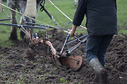 A detail of Irish ploughman Tom Nixon leading Shire horses Nobby and Heath as they harrow an on-going heritage wheat-growing area in Ruskin Park, a public green space in the borough of Southwark, on 9th February 2018, in London, England. The Friends of Ruskin Park are again growing heritage wheat and crops together with the Friends of Brixton Windmill and Brockwell Bake Association. Shire horses are descended from the medieval warhorse but are a breed under threat. Operation Centaur, which maintains the last working herd of Shires in London is dedicated to the protection and survival of the breed. It is an organization set up to promote the relevance of the horse as a contemporary working animal in partnership with humans. This takes the form of heritage skills in conservation and agriculture, transportation, discovery, learning and therapy.