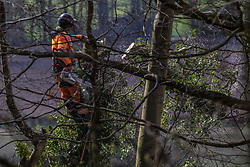 Wendover, UK. 9th April, 2021. A tree surgeon uses a chainsaw to fell a tree in Jones Hill Wood, ancient woodland said to have inspired Roald Dahl, during tree felling operations for the HS2 high-speed rail link. Tree felling work began this week, in spite of the presence of resting places and/or breeding sites for pipistrelle, barbastelle, noctule, brown long-eared and natterer's bats, following the issue by Natural England of a bat licence to HS2's contractors on 30th March.