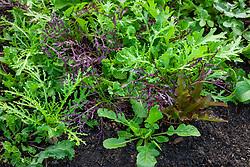 Winter salad leaf mix including Mustard Green Frills and Red Lace, Salad Rocket 'Dentallata', lettuce, mizuna.