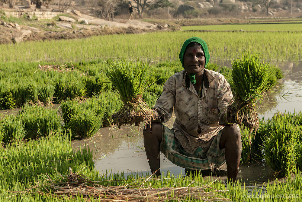 A rice planter holds up rice plants ready to be planted in Hampi, India