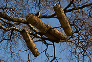 Bee Hives for honey bees in the branches of a tree, Omo Valley, Ethiopia, Apis, Insecta, Hymenoptera, Apidae, insects, arthropod, native, hive, beehive, hives, beehives
