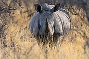 A White rhinoceros, Ceratotherium simum, looking at the camera